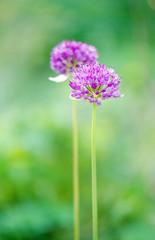 2 Allium-Blüten, hochformat
