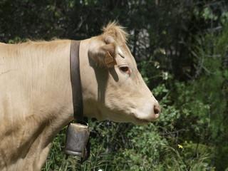 Vaca en la provincia de Madrid