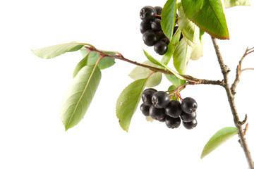 Black Aronia berries