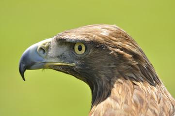 Águila real de perfil.