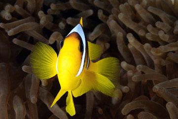 Lovely anemone fish widely known as nemo