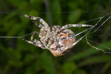 Spider spins spider-web 12