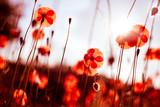 Fototapety Poppy Fields