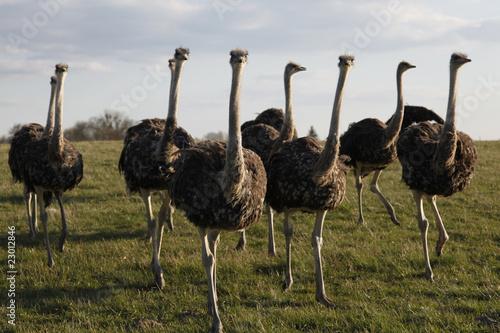 Keuken foto achterwand Struisvogel Vogel Strauss Herde