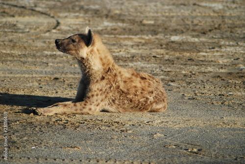 Papiers peints Hyène iena
