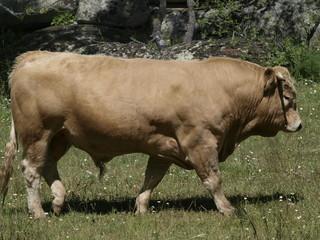 Toro en la provincia de Madrid