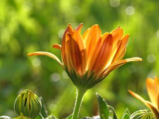 Leuchtblüte