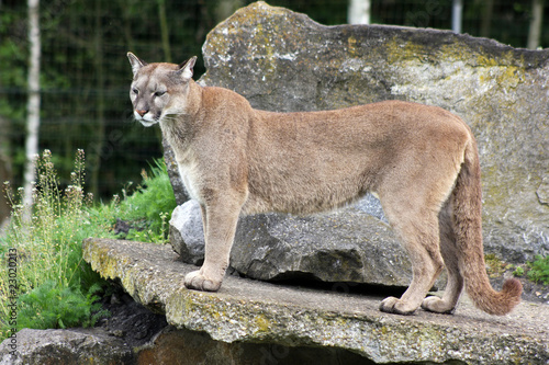 Poster Puma mountain lion