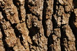 Oak bark closeup