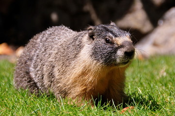 The Yellow Bellied Marmot