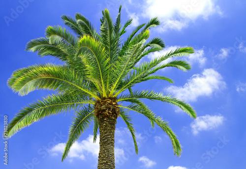 Palma da cocco di lsantilli foto stock royalty free - Palma di cocco ...