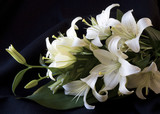 Easter Lily - 23025279