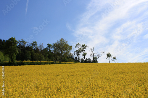 view of a rape field ©