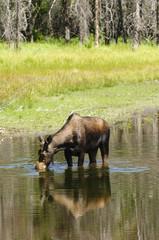Cow Moose feeding