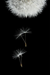Flying seeds of blossoming dandelion, isolated on black