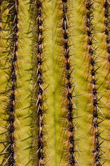 Saguaro Cactus on the Arizona Desert