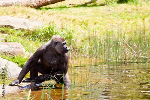Poster Female gorilla