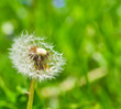 Fototapeten,pusteblume,pusteblume,beschaulichkeit,leichtigkeit