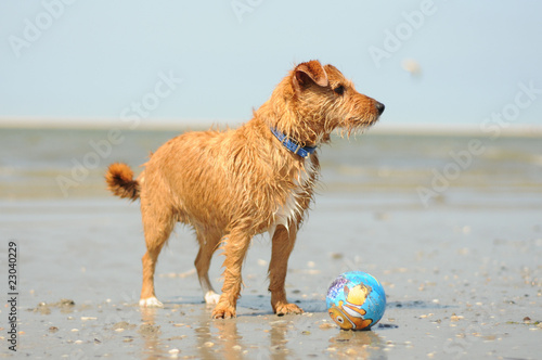 Drahthaarterrier