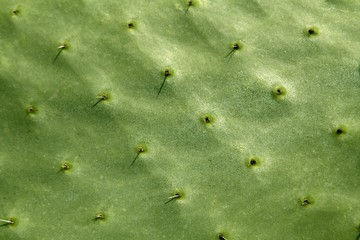 prickly pear cactus nopal detail  Mediterranean area