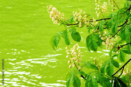 Kastanienblüte über dem Wasser