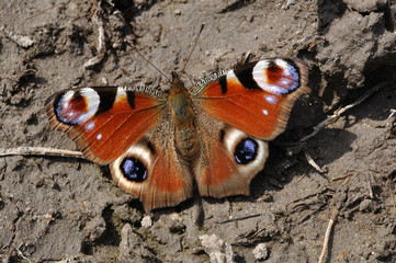 European Peacock (Inachis io) on ground