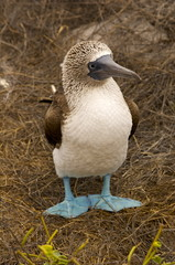 Blue Footed Boobie - Galapagos Islands, Ecuador