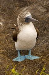 Blue Footed Boobie - Galapagos Islands, Ecuador