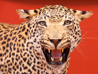 Nice portrait of a leopard stuffed