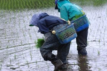 水田で働く人々