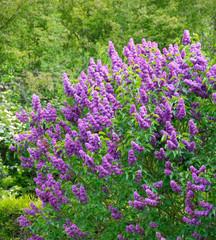 Lilas en floraison