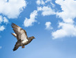 dove in blue sky with clouds