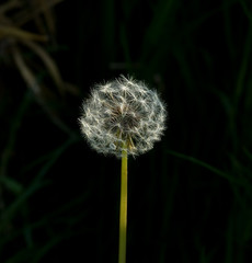 Dandelion clock small