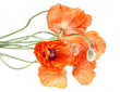 bouquet of poppies isolated