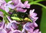 Cetonia aurata or the Rose Chafer Beetle on lilac poster