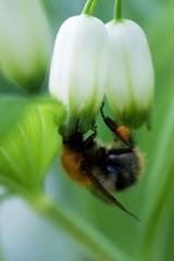Bumble-bee