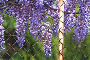 grill and wisteria