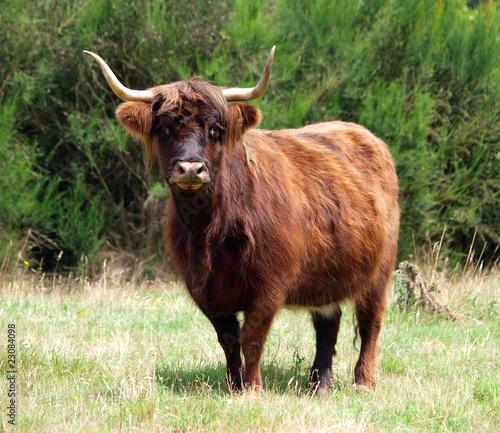 Fotobehang Bison Red Highland Cow
