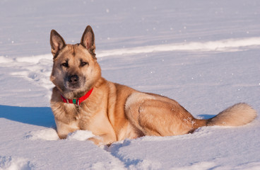 West SiberianLaika lying on a snow