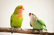 peach-faces lovebird