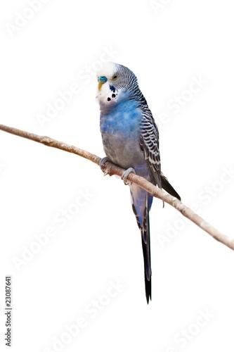 Papiers peints Perroquets little budgie parrot