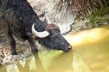 black buffalo drinking water