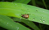 Beetle chafer on grass-blade 8 poster