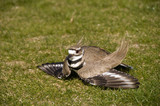 Killdeer feigns a broken wing to protect it's nest