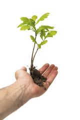 oak tree in hand
