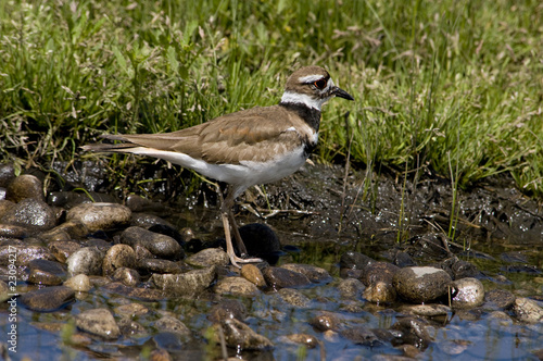 Kildeer at waters edge