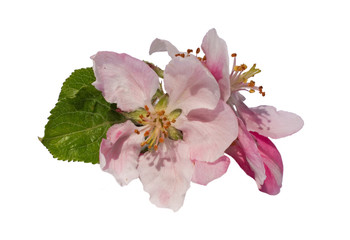 Apfelblüte, makro