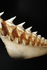 diente tiburon