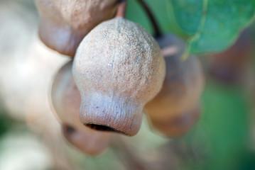 Honky Nut, Gum Nut