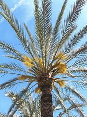 palmera en flor Alicante